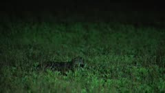 African Civet lying in grass
