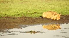Lioness drinking from waterhole