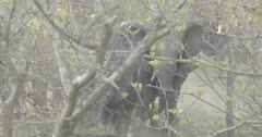 Herd ofAfrican bush elephants behind bushes; one elephant charges at the camera