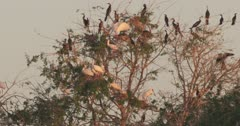 African Darters and Yellow-billed storks on tree