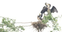 White breasted cormorants in nest