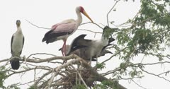 Yellow-billed storks and white breasted cormorant perching on tree