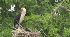 White breasted Cormorant with chicks in nest