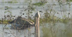 Pink-backed pelican foraging in water