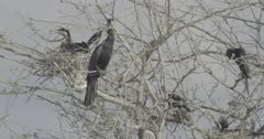 African Darters and Cormorants on tree