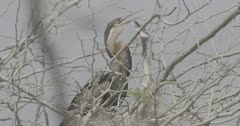 African darter and chicks in nest