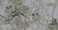 African darters and chicks in nest