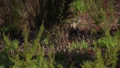 Rabbit browsing in grassy patch