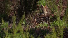 Rabbit jumping in grassy patch