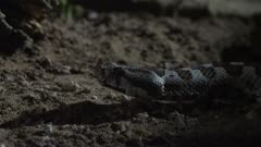 Nose Horned Viper slithering on dirt