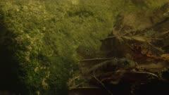 Fire Salamander larvae underwater
