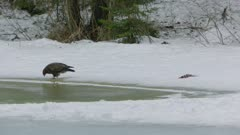 Common Buzzard standing on frozen lakeshore and pecking in snow