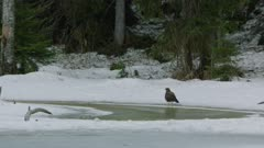 Common Buzzard standing on frozen lakeshore and Raven flying by