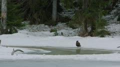Common Buzzard standing on frozen lakeshore
