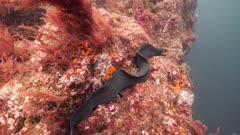 Moray Eel resting on rocks