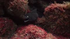 Moray Eel among rocks