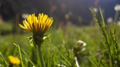 Motion timelapse dandelion flower blooming