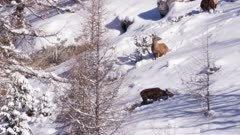 Red deers feeding in the snow during winter season