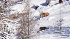 Red deer walking in the snow during winter season