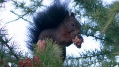 Red squirrel feeds on pine cone