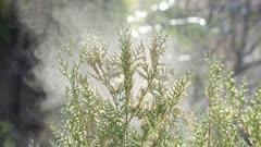 Shaken cedar emits pollen slow motion