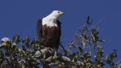 African fish eagle at the top of a tree