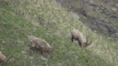 Herd of Alpine ibexes grazes in the wild