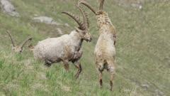 Alpine ibexes fights
