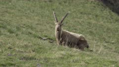Alpine ibexes scratches at springtime, moulting fur