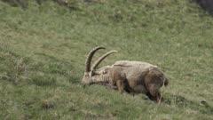 Alpine ibexes grazes at springtime, moulting fur