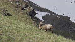 Ibex grazes at springtime