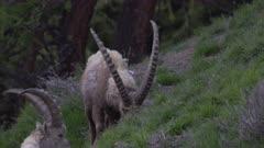 Alpine ibexes grazing