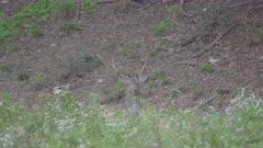 Fallow deer lies in the grass, S-log