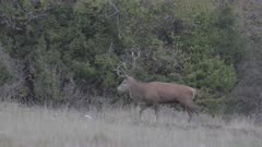 Stag roaring, red deer, mating season, S-log