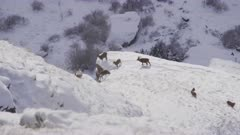 Group of female alpine ibexes and youngs and a male