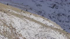 Alpine Chough flying in the Alps, 4k, wildlife, birds, group