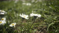 Daisies blossoming , motion timelapse, spring, flowers, sunlight, 8K