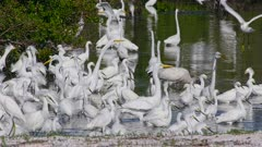 Slow Motion, Herons, Egrets, White Ibis, meet for morning Ritual