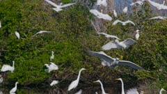 Herons, Egrets, White Ibis gather at sunrise, 180fps