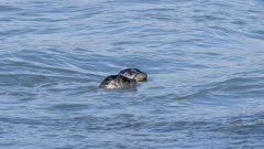 Harbor Seals among pink salmon