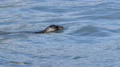 Harbor Seal dives