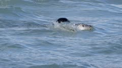 Harbor Seals among pink salmon,fish jumps