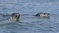 Harbor Seals among pink salmon,both dive