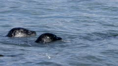 Harbor Seals among pink salmon ons holding salmon in mouth,dives