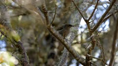 New Zealabd bellbird in South Island Beech Forest