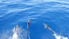 Common Dolphins in clear blue water