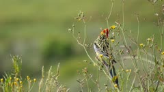 Eastern Rosella feeding on Hawksbeard seeds cuts a branch off and holds it with foot