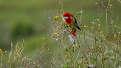 Eastern Rosella feeding on Hawksbeard seeds