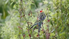 Eastern Rosella feeding on Hawksbeard seeds exits
