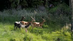 Fallow deer bucks velvet antlers mixed colours melanistic and common fleeing jumping fence